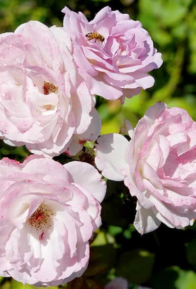 Lavender dusted roses with bee